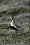 Goldenplover